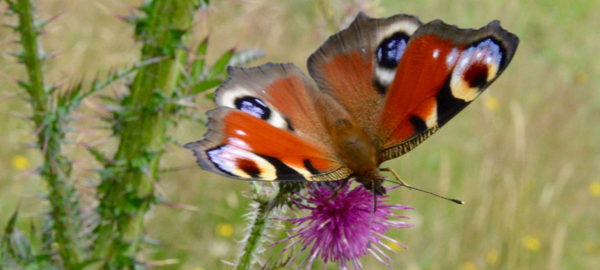 Butterfly Offwell Woodlands